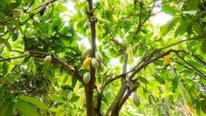 árbol theobroma
